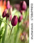 Small photo of The growing tulip bud is major on a pesky background. The tulips blossoming. A beautiful flower background with darkly claret tulips vertically. Macro.Tulipa. Liliaceae Family. Copy space