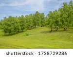Birch Grove On The Slope Of A...