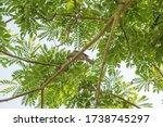 White Gaped Honeyeater Bird...