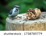 Nuthatch Bird With A Pin...