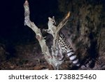 Wild genet looking for food and ...
