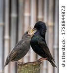 Adult Starling Feeding Young...