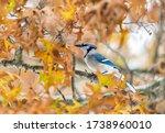 One Colorful Beautiful Blue Ja...