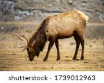 Young Bull Elk grazing on nothing - stock photo