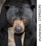 Sun Bear  Helarctos Malayanus ...