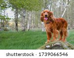 English Cocker Spaniel Dog...