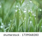 Dew Water Drops On Green Grass...