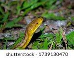 Eastern Rat Snake  Yellow Rat...