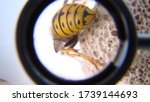 Close Up Of Yellow Wasp Abdome...