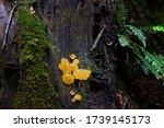 Bright Yellow Jelly Fungus ...