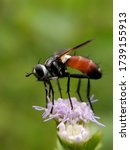A Red Abdomen Hoverfly Is...