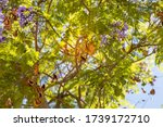 Jacaranda Tree On Blue Sky...