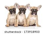 French Bulldog Puppies Posing...