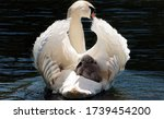Close Up Of A White Swan With ...