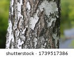 Pattern Of Birch Bark With...