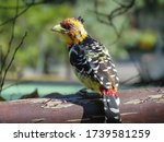 A Curious Crested Barbet...