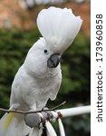 sulphur crested cockatoo parrot ... | Shutterstock . vector #173960858