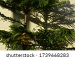 Araucaria Columnaris Commonly...