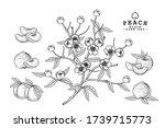 Vector Sketch Peach Decorative...