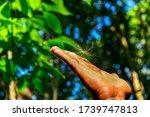 Milkweed On A Hand  ...