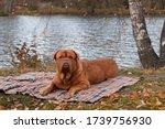 Beautiful Dog Of Dogue De...