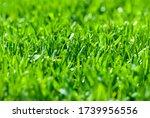 Freshly Cut Grass  Macro Low...