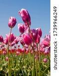 Pink Tulips In A Field In...