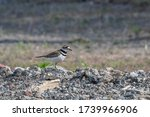 A Killdeer (Charadrius vociferus) standing next to its nest among stones along the edge of an access road.  The Killdeer is a shorebird and a member of the Plover family that nests on the ground.