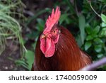 Portrait Of A Rooster In A...
