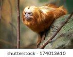 Lion Tamarin  Leontopithecus Sp