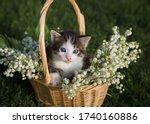 Little Gray White Kitten With...