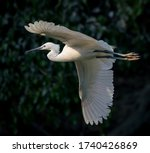 The Great Egret Fishing And...