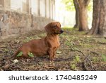 Dog Breed Dachshund Sits On The ...