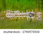 California Gulls Resting At A...