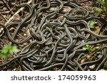 Red Sided Garter Snake Mating...