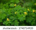 Celandine  Chelidonium Majus ...