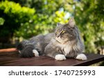 Blue Tabby White Maine Coon Cat ...