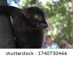 Male Black Lemur On Nosy Komba...