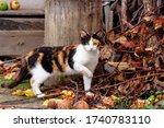 Curious Calico Cat Walking...