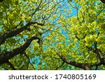 Maple Trees In Summer Against...