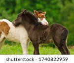 Small photo of A black foal and a skewbald foal are playing together and are grooming together, social interaction between cute young horses