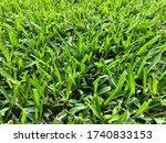 St Augustine Turf Grass Filling ...