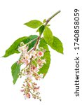 Chestnut Flower Blossom...