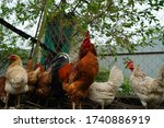 Close Up Of Adult Rooster With...