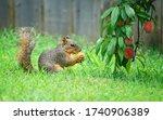 Hungry Squirrel  Sciurus Niger  ...