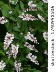 Small photo of The name of these flowers is Crenate pride of Rochester. Scientific name is Deutzia crenata f.plena.