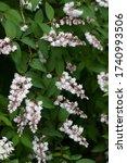 Small photo of The name of these flowers is Crenate pride of Rochester. Scientific name is Deutzia crenata f.plena.
