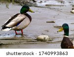 Two Ducks In Riverbank During...