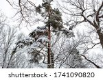 Snow Covered Pine Tree In...