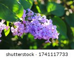 Big Lilac Branch Bloom In...